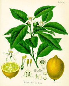 citron-citrus